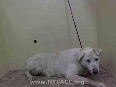 GONE - 10/27/14 Manhattan Center  My name is PRINCESS. My Animal ID # is A1018754. I am a female white labrador retr and germ shepherd mix. The shelter thinks I am about 10 YEARS old.  I came in the shelter as a OWNER SUR on 10/26/2014 from NY 10472, owner surrender reason stated was NO TIME.  https://www.facebook.com/Urgentdeathrowdogs/photos/pb.152876678058553.-2207520000.1414486442./894640623882151/?type=3&theater