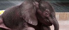 Así disfruta de su primer baño un elefante bebé en un zoo de Dallas▶  ... - http://www.vistoenlosperiodicos.com/asi-disfruta-de-su-primer-bano-un-elefante-bebe-en-un-zoo-de-dallas-%e2%96%b6/