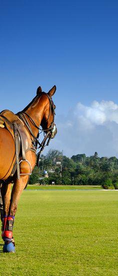 Barbados polo horse