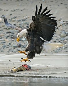 Eagle, bald eagle, fish, swoop, talons, birds of prey