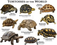 Tortoises of the World by rogerdhall on DeviantArt