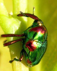Pintados Weevil (Eurhinus magnificus)