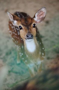 Deer are the most precious and graceful animals ever