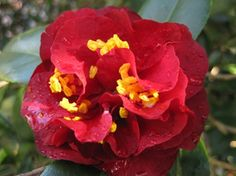 Camellia Maroon and Gold, at Eryldene