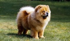 Chow Chow Fun Facts And Crate Size Pet Crates Direct Wikizero Chow Chow Chow Chow Dog Breed Size Colors Temperament Lifespan And Dog With A Blue Tongue Chow Chow Chow Chow Dog Breed Information Pictures Characteristics Facts Chow Chow Facts For Kids Best Medium Sized Dogs, Medium Sized Dogs Breeds, Lazy Dog Breeds, Dog Breeds List, Best Dog Breeds, Medium Dogs, Chow Dog Breed, Chow Chow Dogs, Chow Puppies