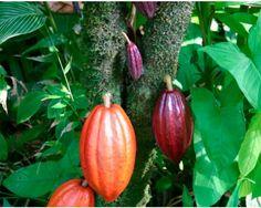 El árbol del cacao es original de los valles fluviales de Sudamérica, posteriormente fue llevado a Méjico por los mayas antes del siglo VII.