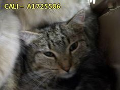 CALI – A1725586 - 3/28/2014 Breed: DSH, Color: Black/Brown Sex: Female Spayed, Age: 1 year Weight: 8 lbs  For more information, please call Palm Beach County Animal Care and Control at (561) 233-1200. When asking for information, use CALI's ID number: A1725586