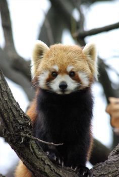 Red Panda | Pinterest: nasti