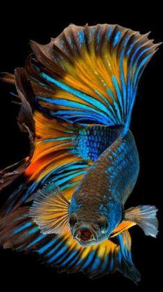 World Wallpaper, Fish Wallpaper, Animal Wallpaper, Betta Fish Tattoo, Oscar Fish, Beta Fish, Freshwater Aquarium Fish, Siamese Fighting Fish, Halfmoon Betta
