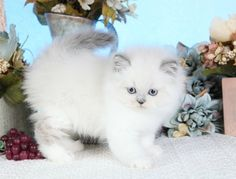 blue point Himalayan kittens - Google Search
