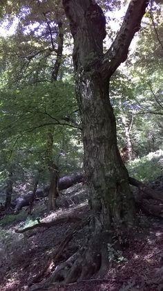 Old tree./Starý strom.