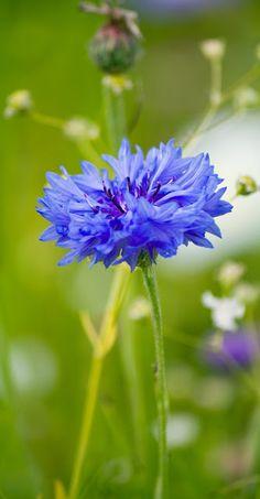 Anemone, Blue, Blue Anemone, Flower, Blue Flower