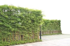Bamboo trees creating beauty around a concrete wall.