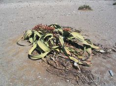 The Big Welwitschia is one of the weirdest plants on the planet and is the largest known Welwitschia. It can grow up to 1.4 m tall and is over 4 m in diameter. It is considered a living fossil which was discovered in 1859. This unusual plant grows exclusively in the Namib Desert within Namibia and Angola. This is a very long-lived plant that can live up to more than 2,000 years old