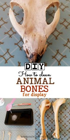 This tutorial shows how to clean animal bones (free of any soft tissue) to prepare them for display in a collection.