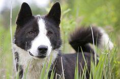 Page Not Found - Royal Canin Laika Dog, Purebred Dogs, Dog Breeds, Corgi, Friends, Animals, Amigos, Corgis, Animales