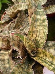 Image result for sansevieria kirkii coppertone
