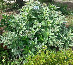 Hydrangea Blooming :: Hometalk