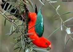Australian king parrot, Alisterus scapularis