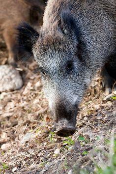 Wild boar - Wild boar