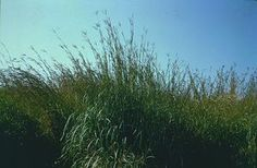 The Big Bluestem is the state grass of Missouri and Illinois. It was adopted by Missouri in 2007 and Illinois in 1989.