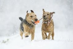 Lakeland Terriers play in the snow in South Yorkshire