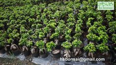 www.hsbonsai.cn Ficus Ginseng Bonsai, Garden, Plants, Garten, Lawn And Garden, Gardens, Plant, Gardening, Outdoor