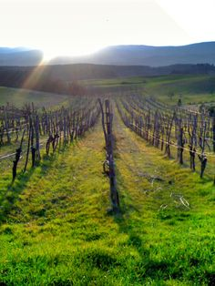 Field of grape wines in #Tuscany #italy
