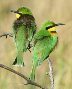 little bee eaters Credit: Africa Birds & Birding