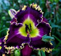 Daylily 'Romeo Prince': I don't even like daylilies, but this is amazing.
