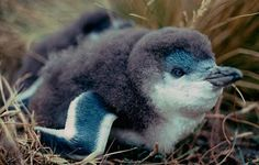Little Blue Penguin chick - Also know as Little Blue Penguins or Fairy Penguins, they are the smallest penguin in the world at only 13 inches tall when fully grown. Native to New Zealand & Australia. | And too cute for words!