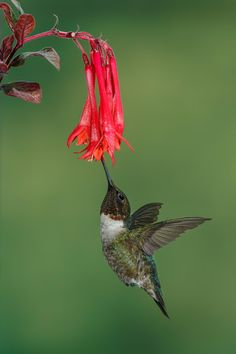 Hummingbird and Fuchsia Gartenmeister by Mike Bons on 500px