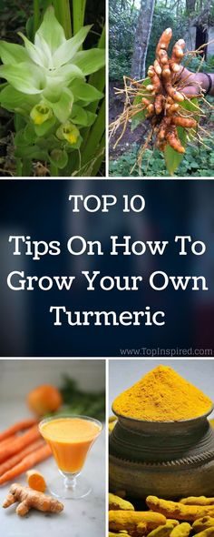 Here is how to grow your own turmeric in your garden or in a container! Turmeric…