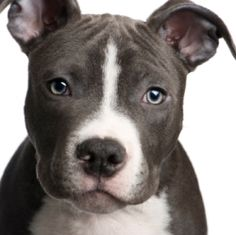 Uplifting So You Want A American Pit Bull Terrier Ideas. Fabulous So You Want A American Pit Bull Terrier Ideas. Pitbull Terrier, Chien Fox Terrier, Bull Terriers, Rat Terrier Dogs, Terrier Mix, Staffordshire Terriers, American Staffordshire, American Pitbull, Pit Bull Love