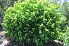 Murraya paniculata Mock Orange/Jasmine. Dense shrub, white perfumed flowers Nov-Dec. Great for a hedging/screening plant as its fast growing and easy to maintain. Keep pruned to maintain a bushy habit. H4-6m W.3m