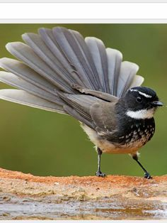 White-spotted Fantail: S and Cnt  IN - Sathish Poojari
