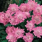 "Pink Mist Dwarf Scabiosa Light: Full Sun Height: 12-18"" Deer Resistant Bloom Time: Early Summer to Late Summer Size: Potted Zones: 3 to 9"