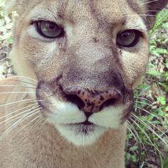 lioness Enya at Big Cat Rescue