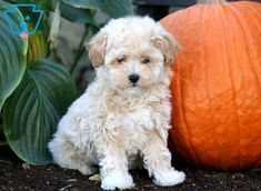 Mylie | Maltipoo Puppy For Sale | Keystone Puppies