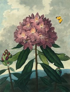 The Pontic Rhododendron illustration from Robert Thornton's, Temple of Flora. Click to read more...