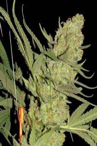 justforrelaxation:  cannabis ganja indica weed herb pot...