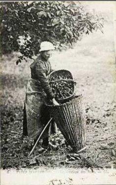 Auvergne - récolte des noix après gaulage des noyers