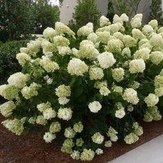 Hydrangea paniculata DIAMANTINO® 'Ren101' - Sapho ...
