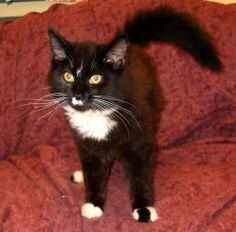 Troy is an adoptable Domestic Medium Hair Cat in Ridgely, MD. This adorable little guy is named Troy and he is hoping that you will come into the shelter today and meet him because he is searching for...