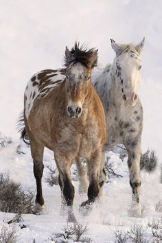 Two beautiful Appaloosas running in the snow. One blanket  on the rump and the other Leopard spot coats. What a pretty pair!
