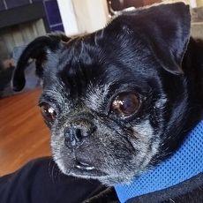 Rocky Midsouth Pug Rescue Inc Cordova Tennessee Pets