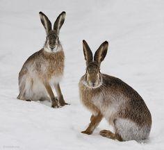 Giganto Bunnies in the Snow