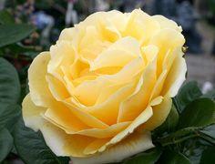Michelangelo - yellow Hybrid Tea rose