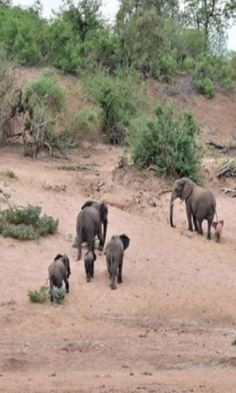 Adorable Baby PINK Elephant Is At Home With Its Herd Despite Its Differences #pink #elephant #wild #animals