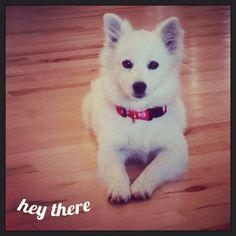 Miniature American Eskimo, white, fluffy, puppy